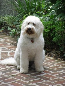 Shed-Free Breed Labradoodle