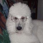 White Labradoodle Dog