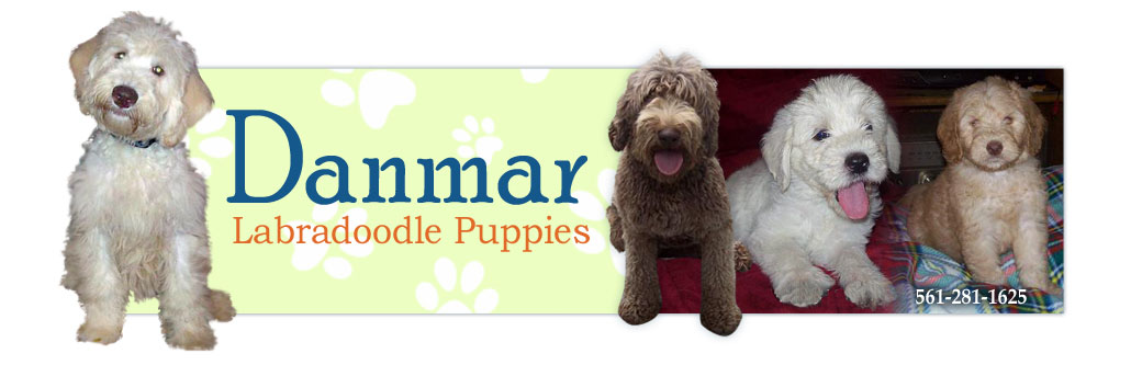 Danmar Labradoodles: Labradoodle Puppies for Sale by Breeder