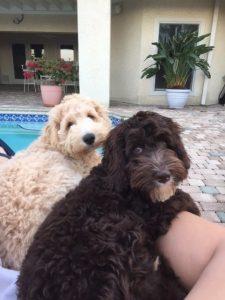 lucys pups st litter 2 boys